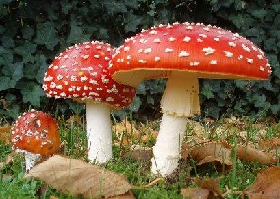 1200px-2006-10-25_Amanita_muscaria_crop